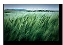 Vent dans les bl�s, Kochersberg