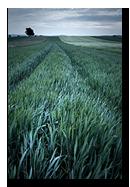 Champs de blé dans le Kochersberg