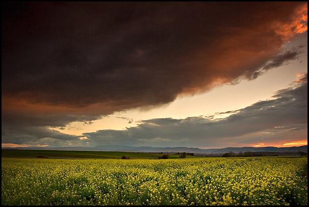 Champs de colza, ciel menaçant