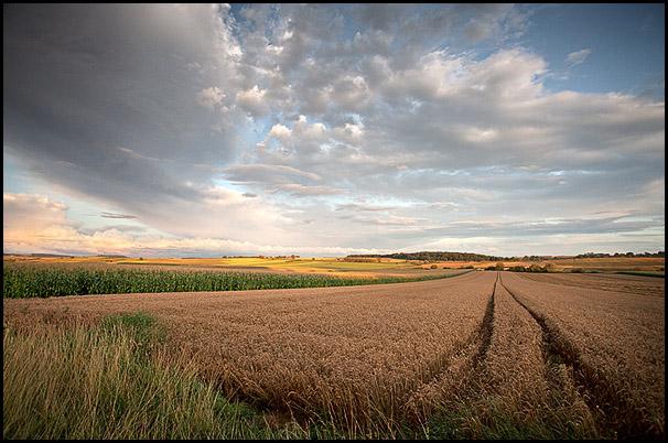 Champs de ble, Pays de Hanau, Bas-Rhin, Alsace, France