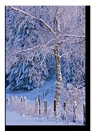 Arbre sous la neige en F�ret Noire en Allemagne