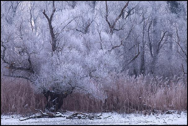 Vegetation sous le givre. Delta de la Sauer