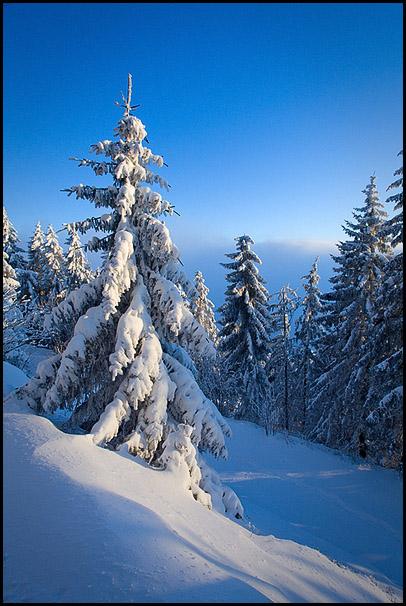 Epicea ,Forêt Noire, Mummelsee, Allemagne