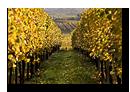 Vignes � proximit� de Mittelbergheim